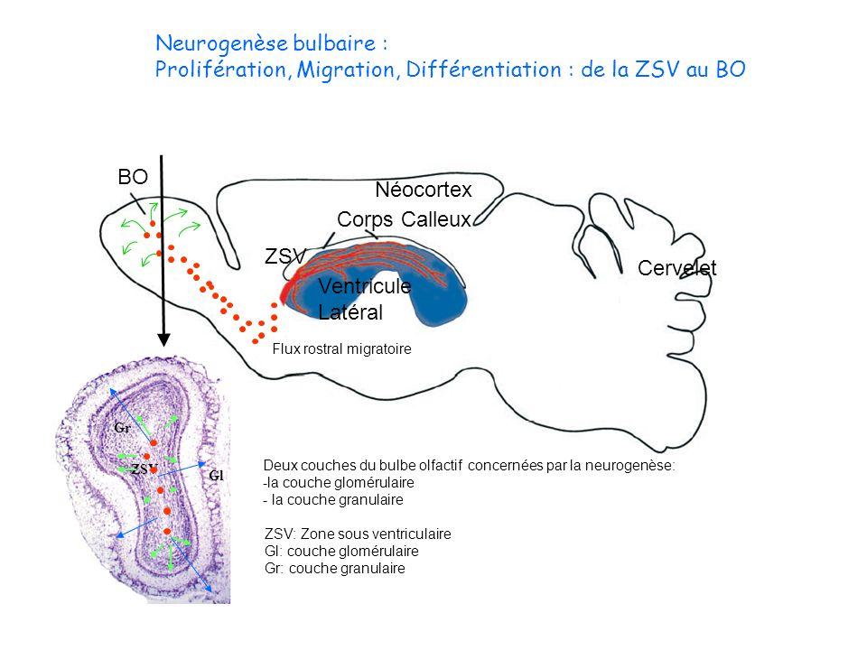 Neurogenèse bulbaire :