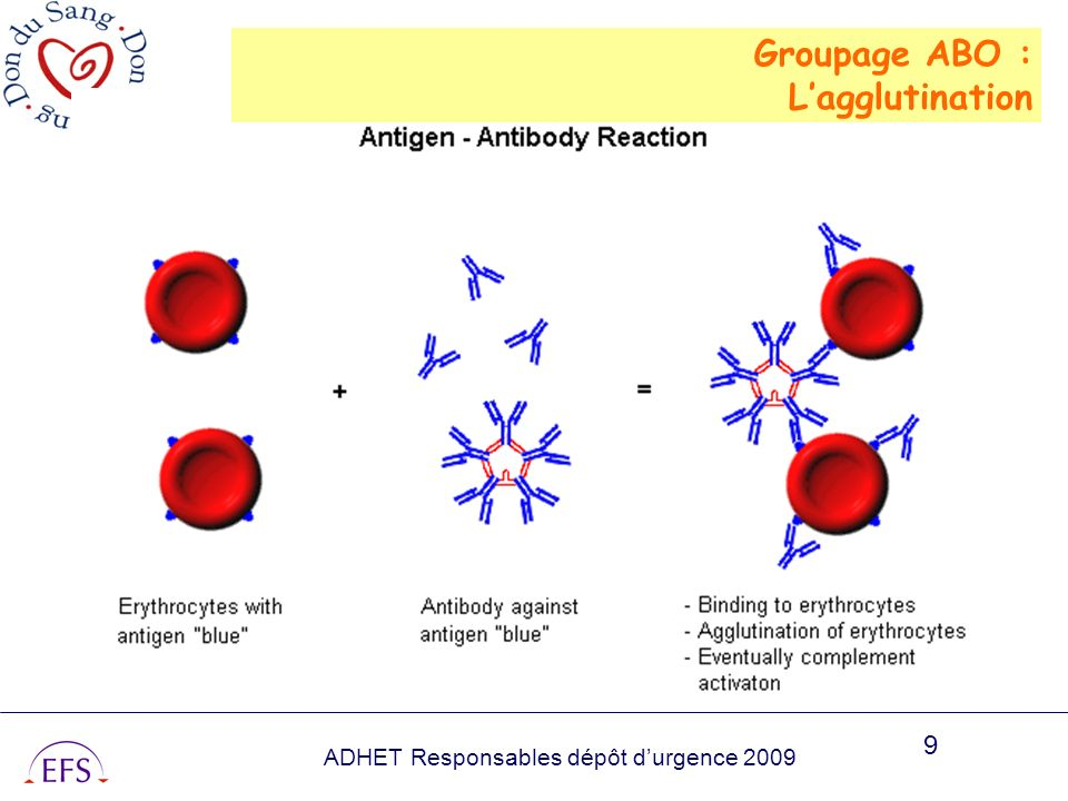 Groupage ABO : L'agglutination