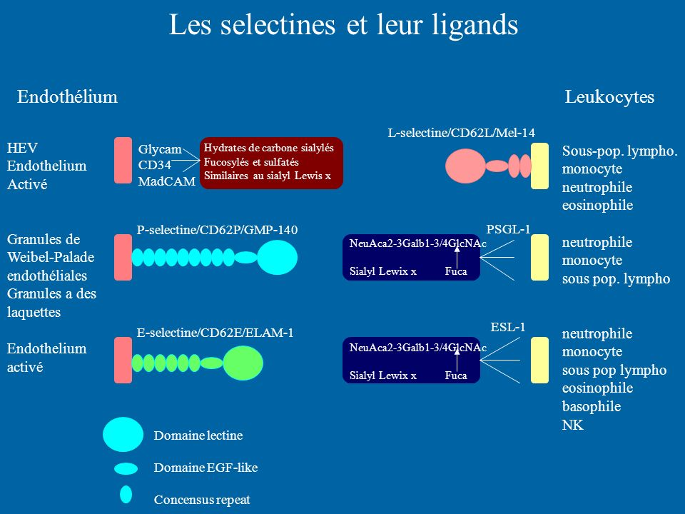Les selectines et leur ligands