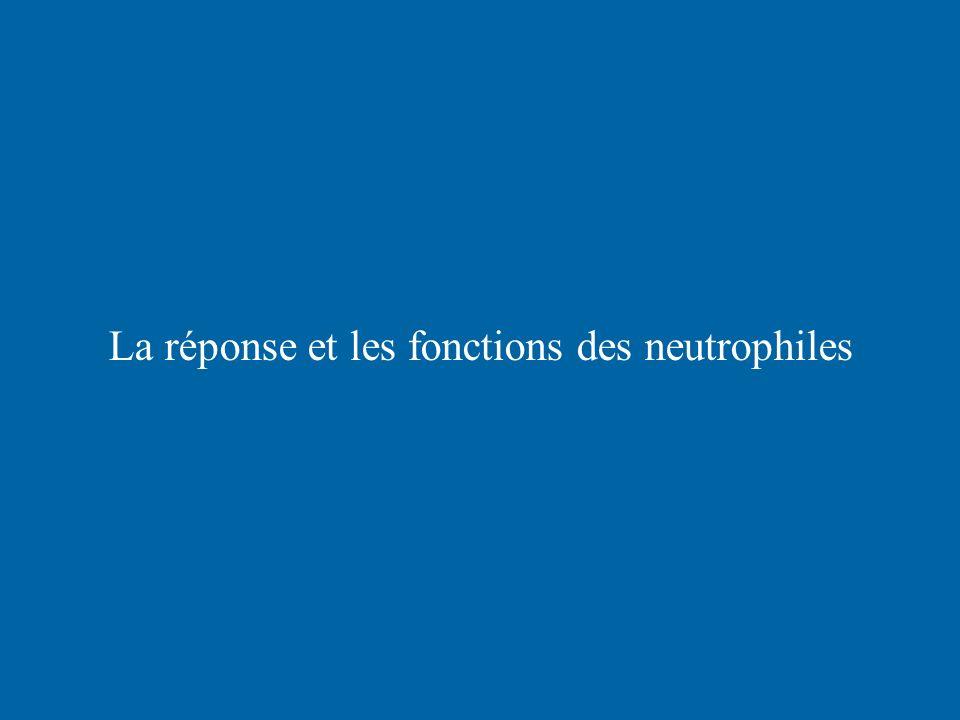 La réponse et les fonctions des neutrophiles
