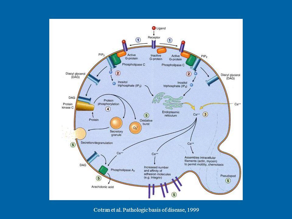 Cotran et al. Pathologic basis of disease, 1999
