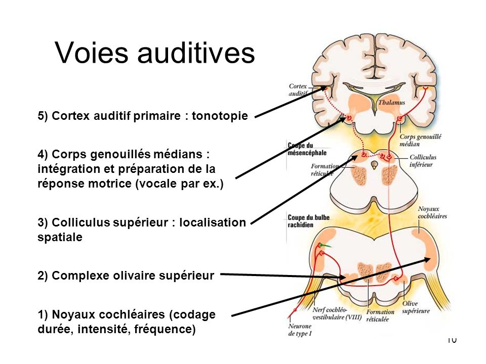 Voies auditives 5) Cortex auditif primaire : tonotopie