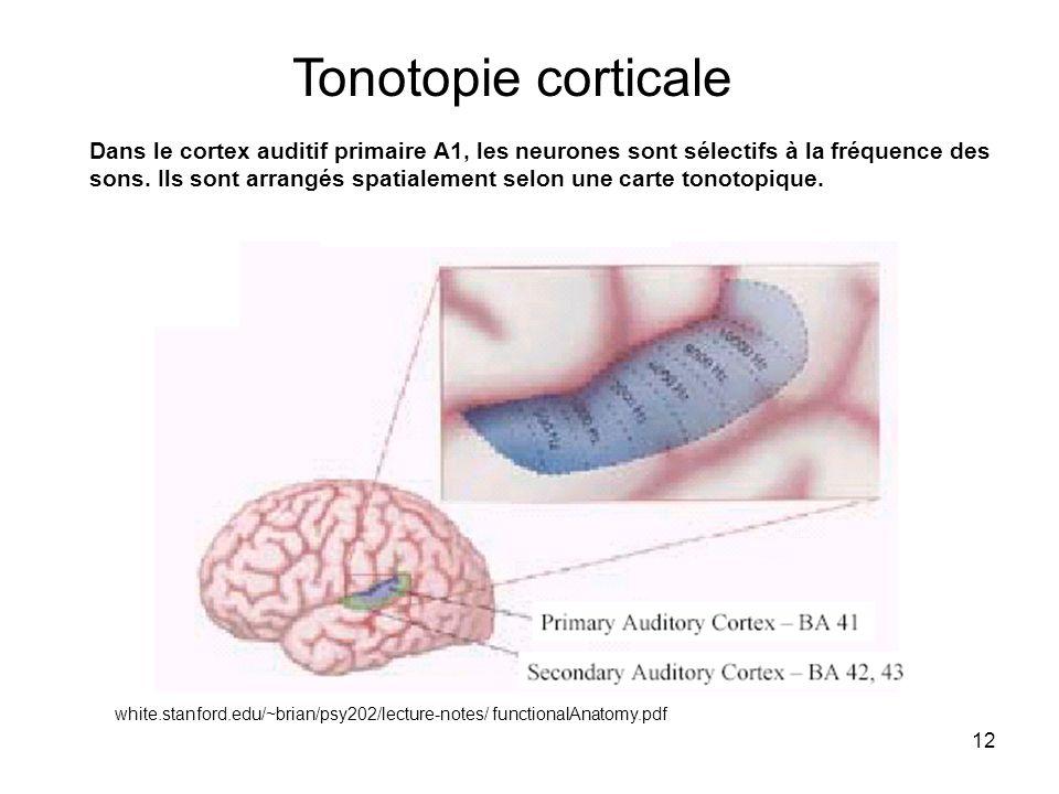 Tonotopie corticale