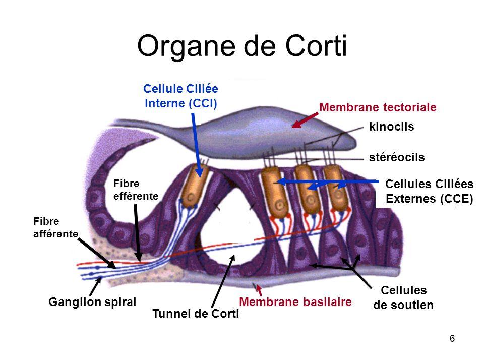 Cellule Ciliée Interne (CCI) Cellules Ciliées Externes (CCE)