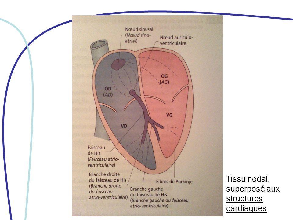 Tissu nodal, superposé aux structures cardiaques