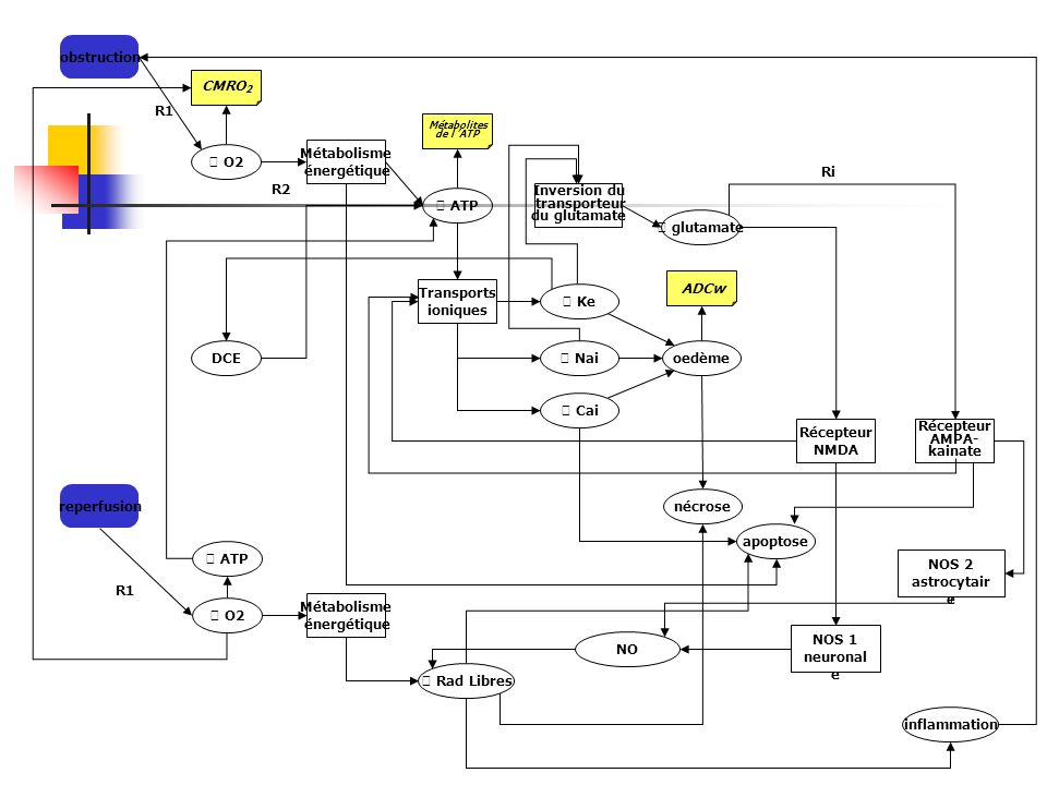 obstruction CMRO2. R1. Métabolites. de l 'ATP.  O2. Métabolisme. énergétique. Ri. R2.  ATP.