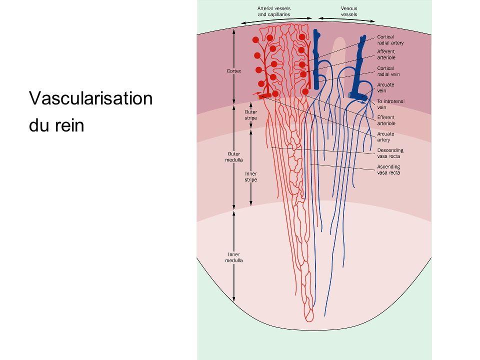 Vascularisation du rein