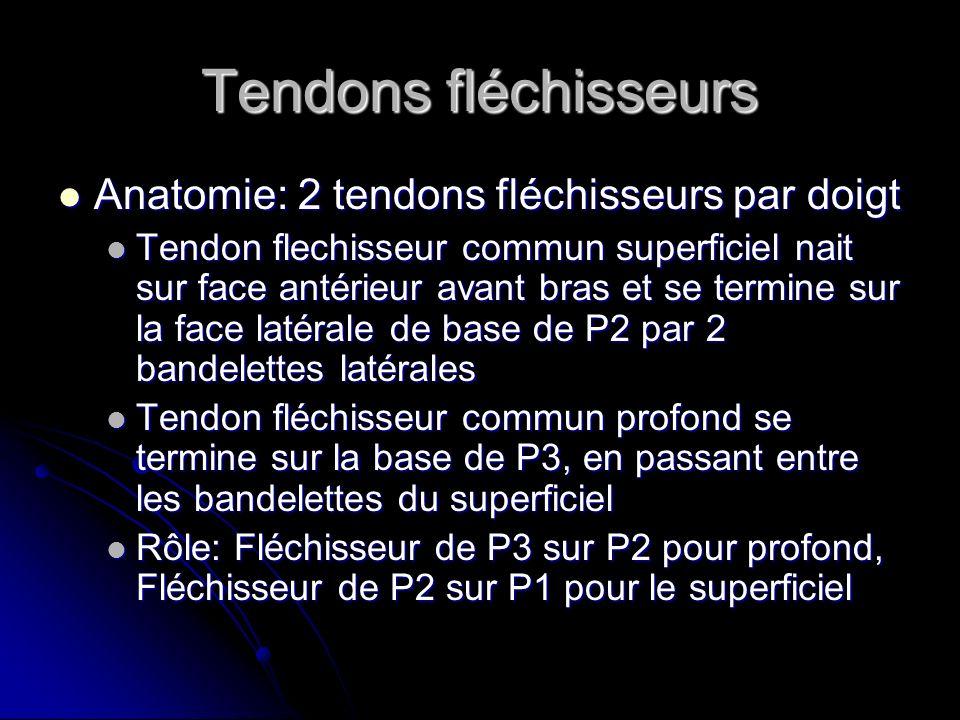 Tendons fléchisseurs Anatomie: 2 tendons fléchisseurs par doigt