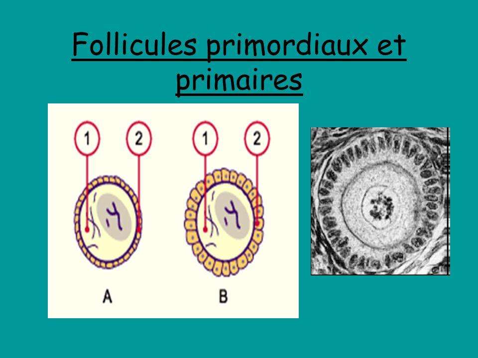 Follicules primordiaux et primaires