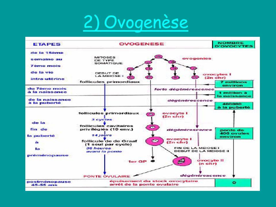 2) Ovogenèse