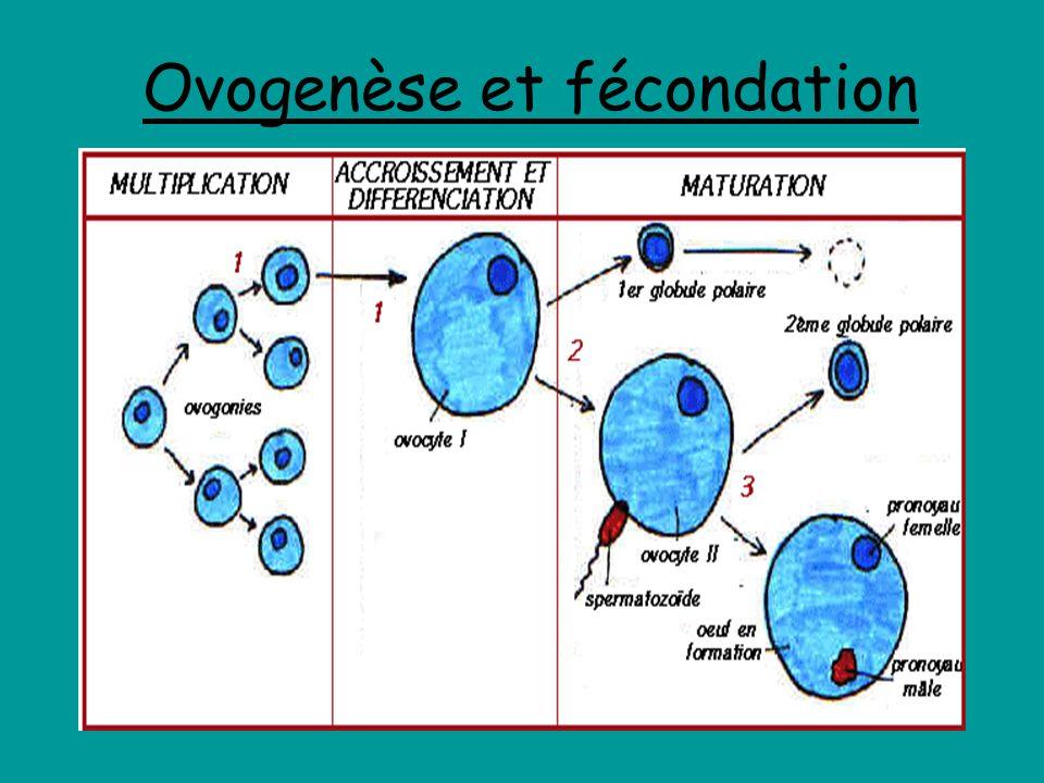 Ovogenèse et fécondation