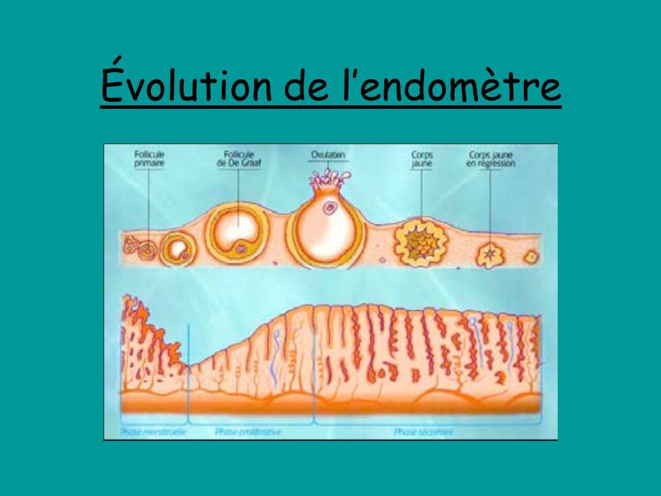 Évolution de l'endomètre