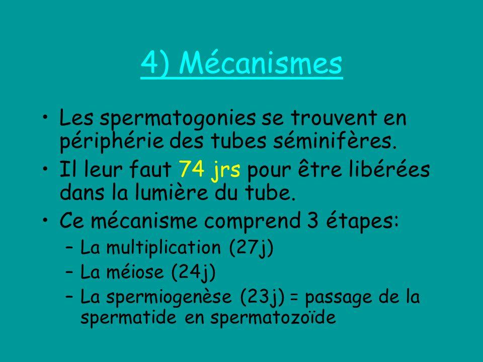 4) Mécanismes Les spermatogonies se trouvent en périphérie des tubes séminifères. Il leur faut 74 jrs pour être libérées dans la lumière du tube.
