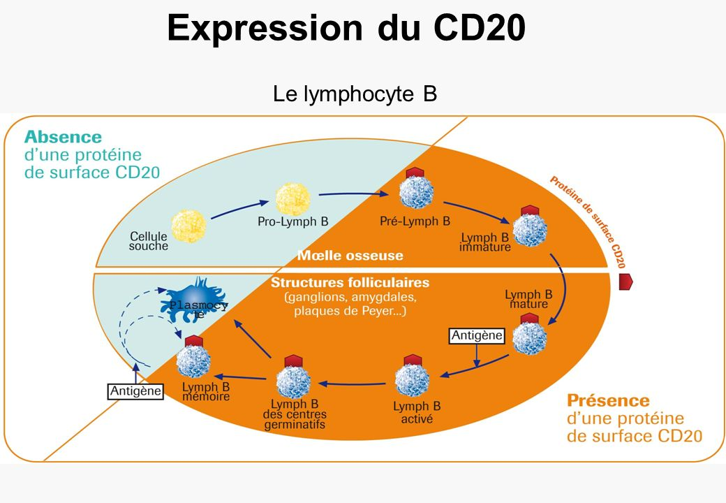 Expression du CD20 Le lymphocyte B