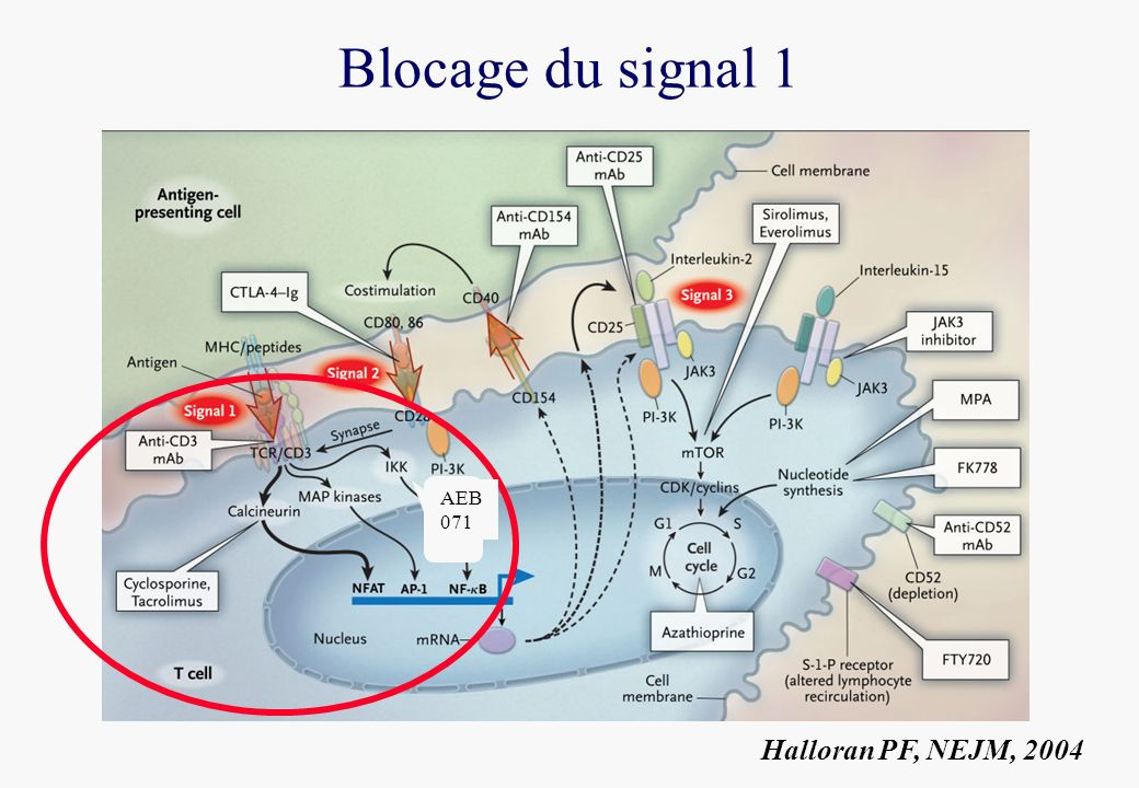 Blocage du signal 1 AEB 071 Halloran PF, NEJM, 2004