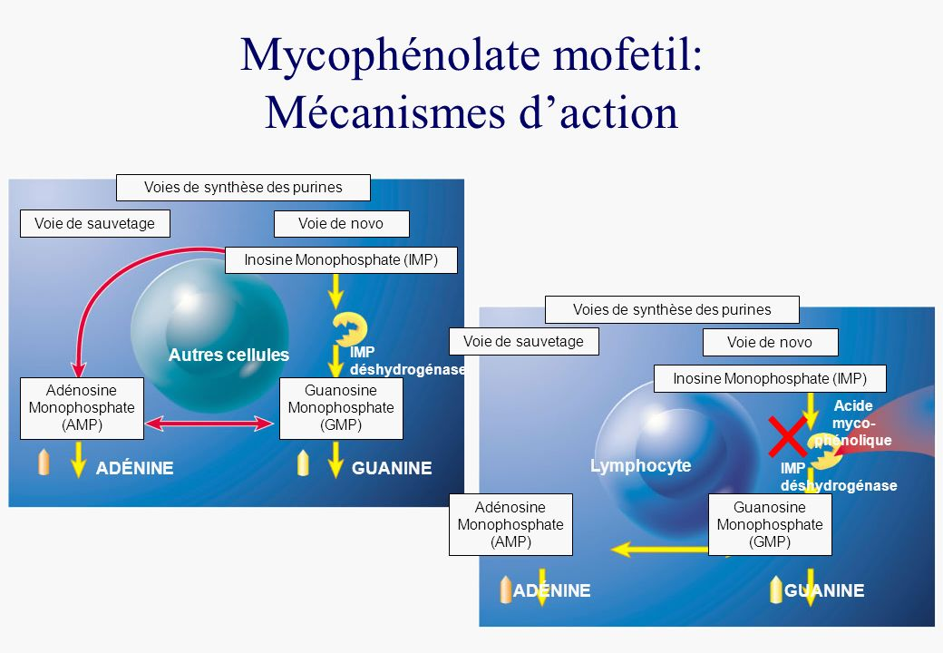 Mycophénolate mofetil: Mécanismes d'action