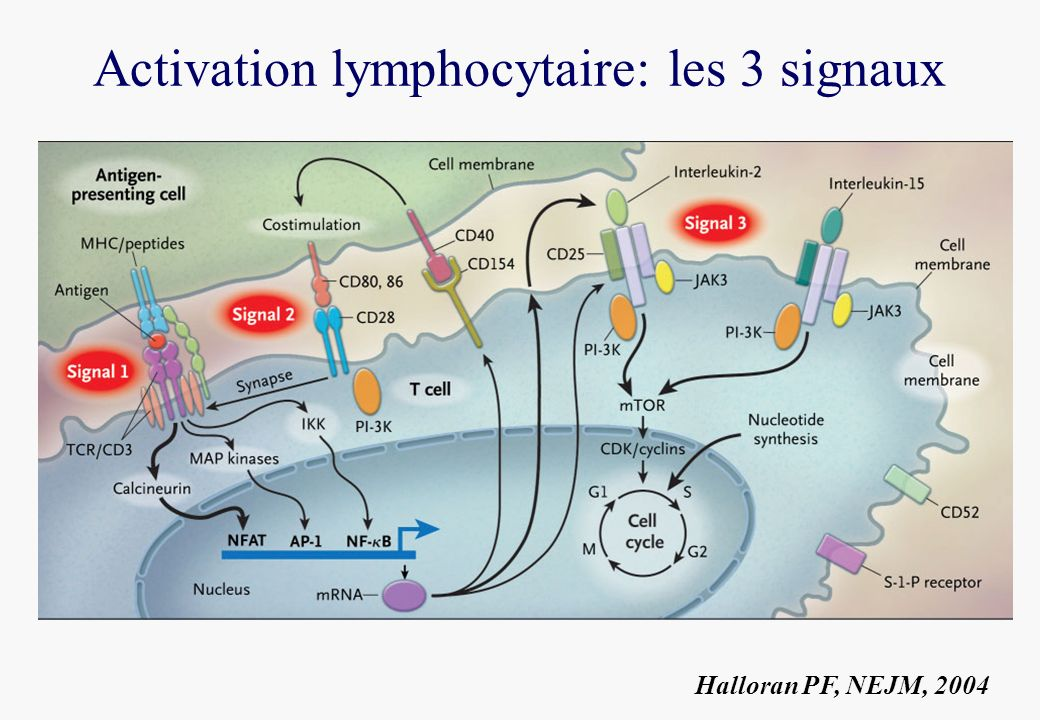 Activation lymphocytaire: les 3 signaux