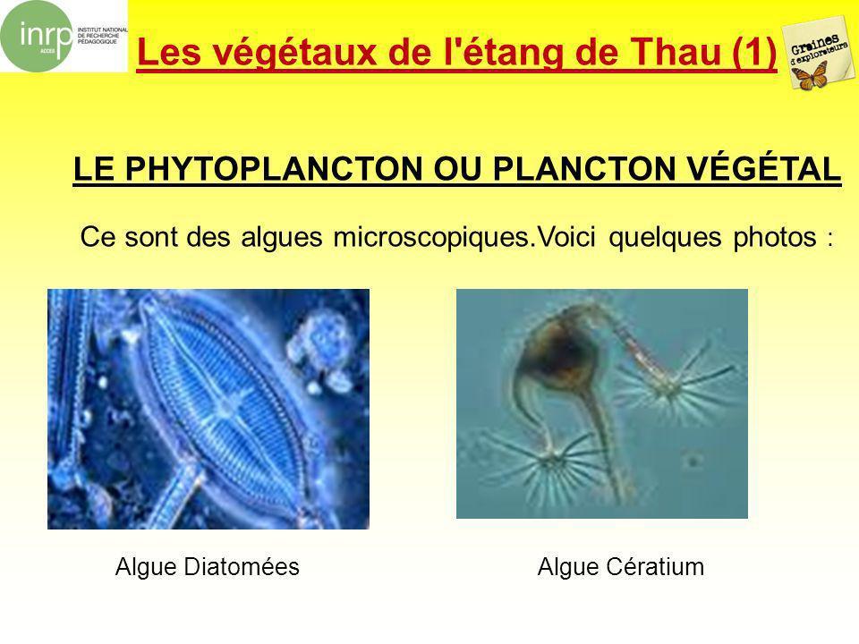 Les végétaux de l étang de Thau (1)
