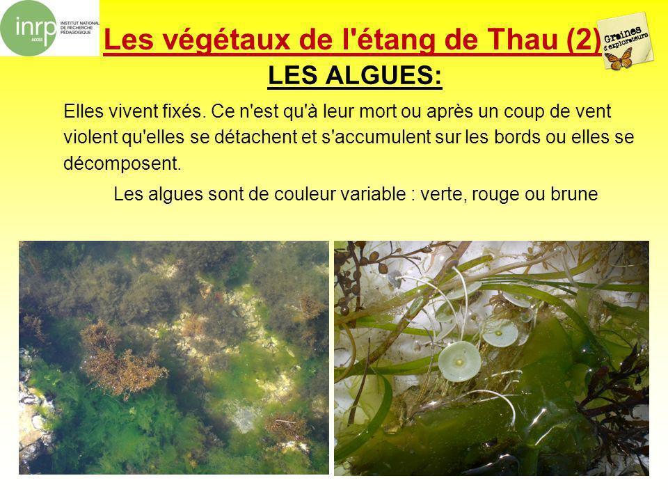Les végétaux de l étang de Thau (2)