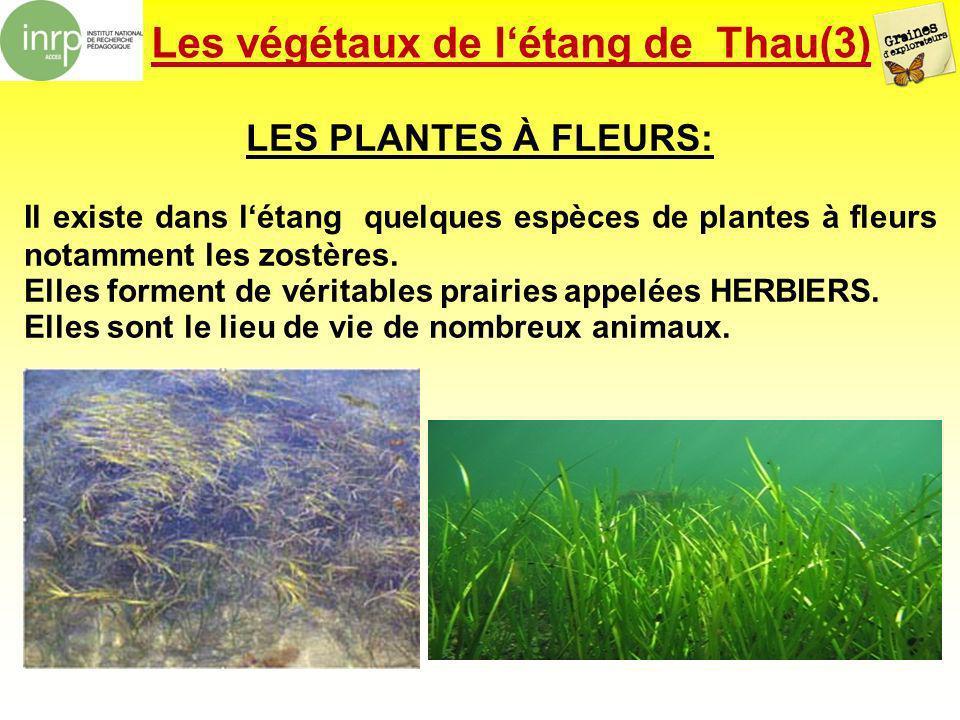 Les végétaux de l'étang de Thau(3)