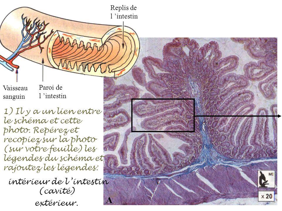 intérieur de l 'intestin (cavité)