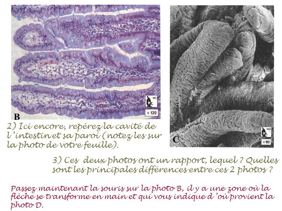 B C. 2) Ici encore, repérez la cavité de l 'intestin et sa paroi (notez les sur la photo de votre feuille).