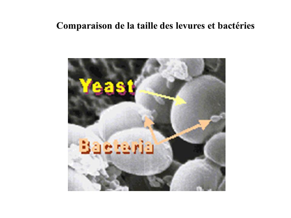 Comparaison de la taille des levures et bactéries