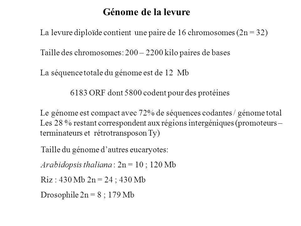 Génome de la levure La levure diploïde contient une paire de 16 chromosomes (2n = 32) Taille des chromosomes: 200 – 2200 kilo paires de bases.