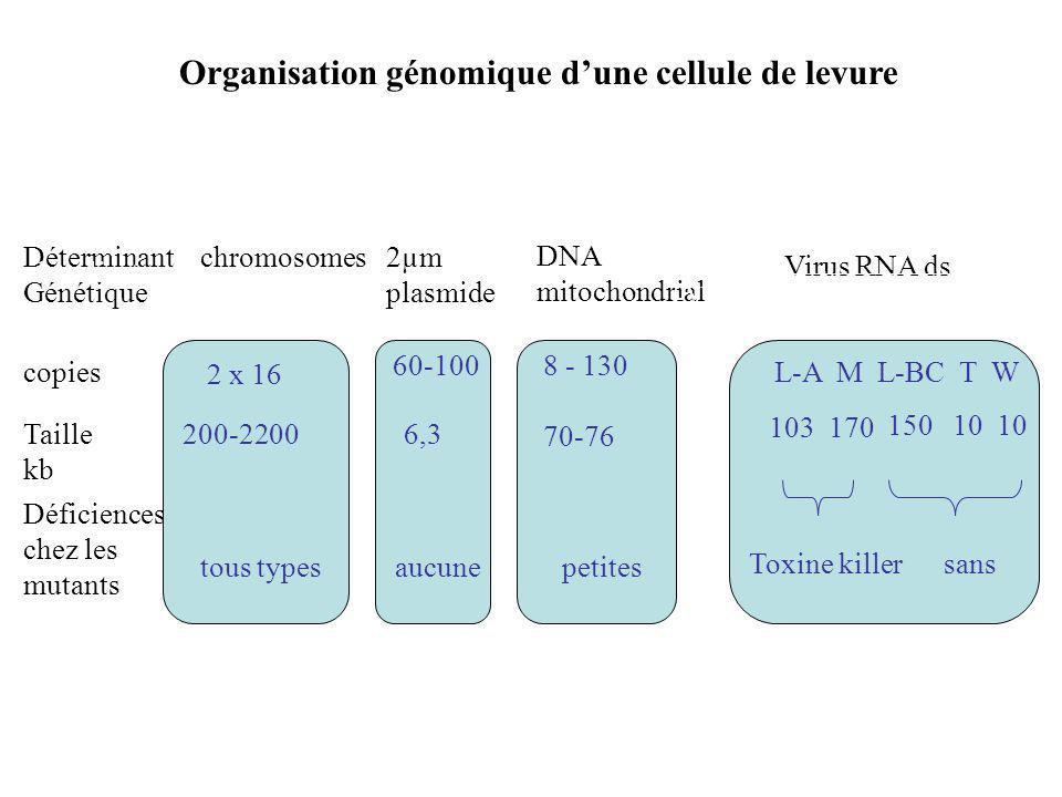 Organisation génomique d'une cellule de levure