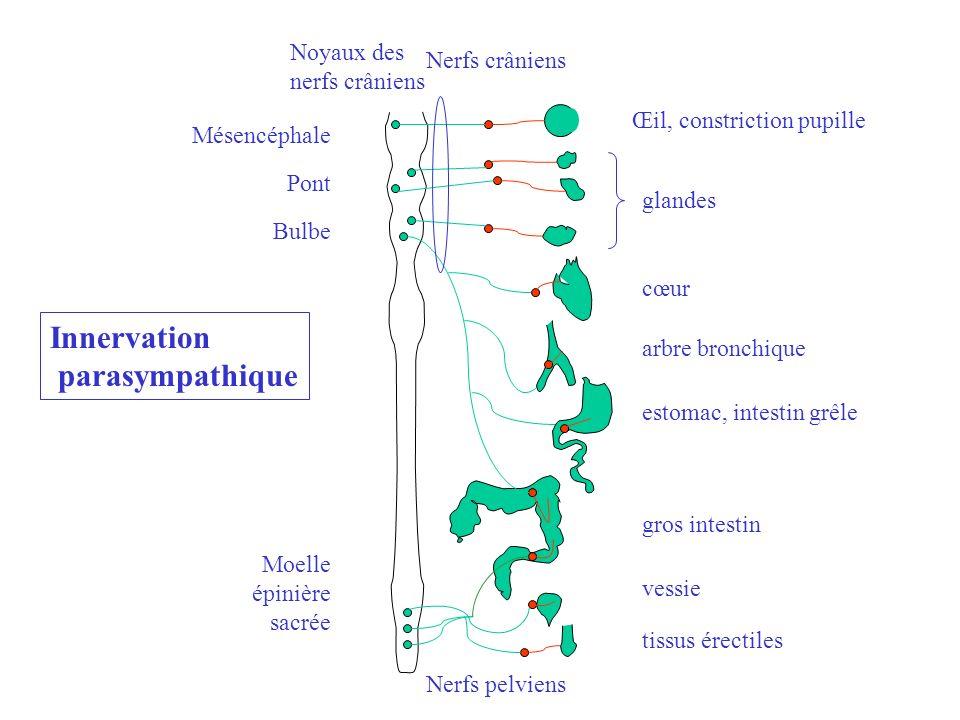 Innervation parasympathique Noyaux des Nerfs crâniens nerfs crâniens