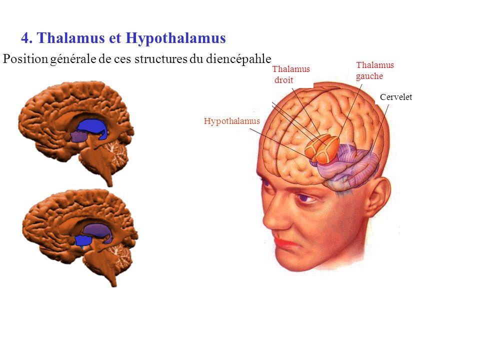 4. Thalamus et Hypothalamus
