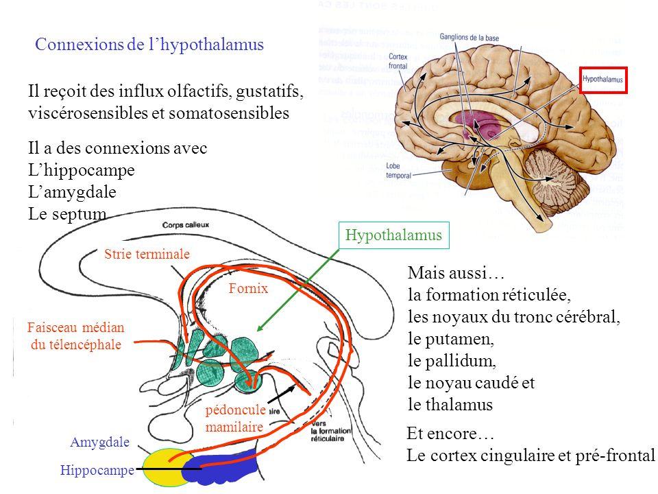 Connexions de l'hypothalamus