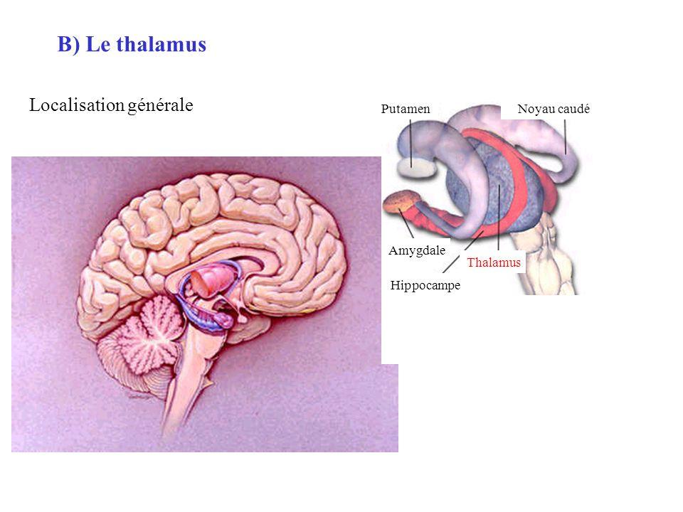 B) Le thalamus Localisation générale Putamen Noyau caudé Amygdale