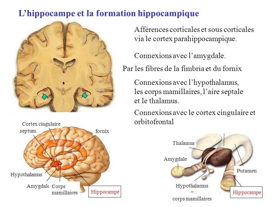 L'hippocampe et la formation hippocampique