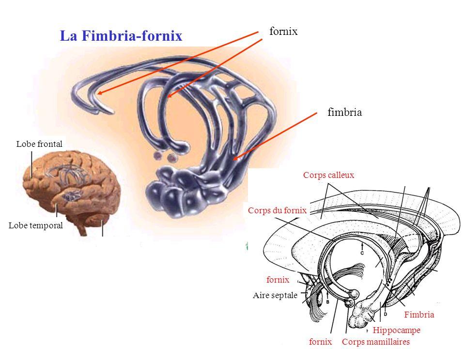 La Fimbria-fornix fornix fimbria Lobe frontal Corps calleux