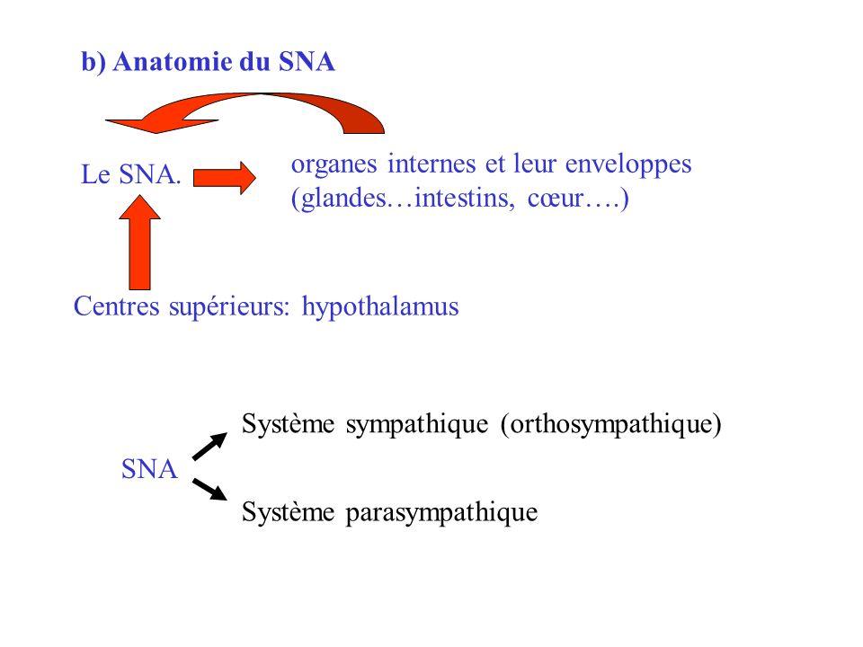 b) Anatomie du SNA Le SNA. organes internes et leur enveloppes. (glandes…intestins, cœur….) Centres supérieurs: hypothalamus.