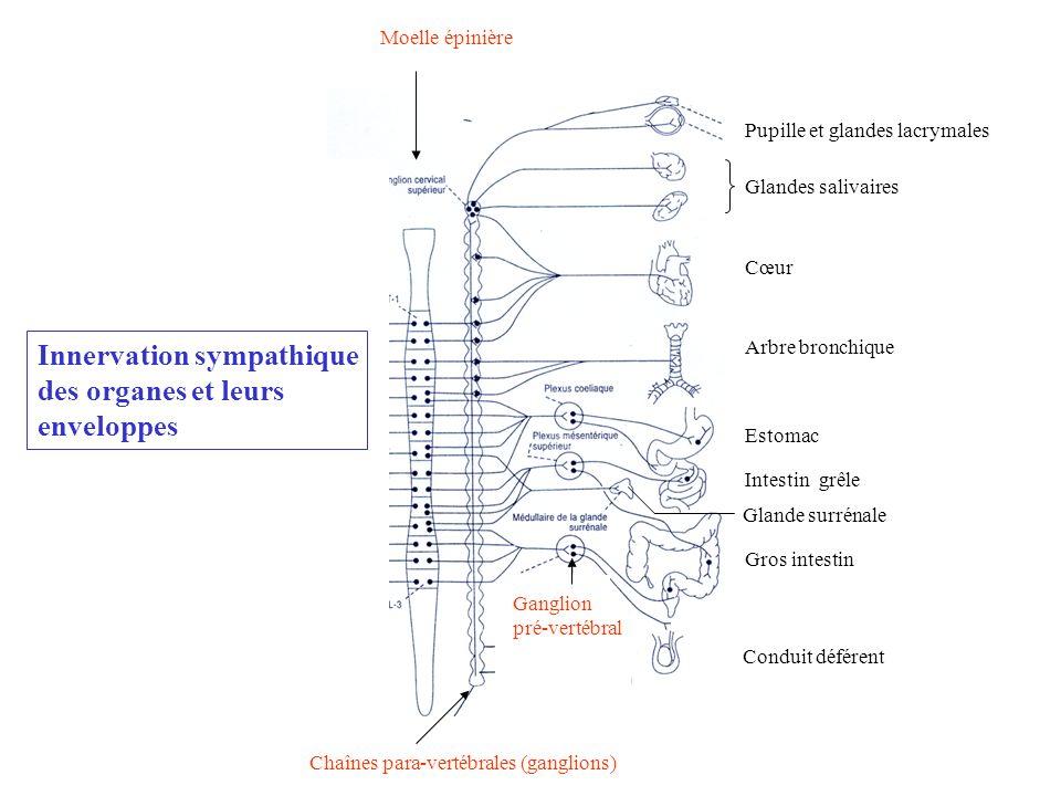 Innervation sympathique des organes et leurs enveloppes