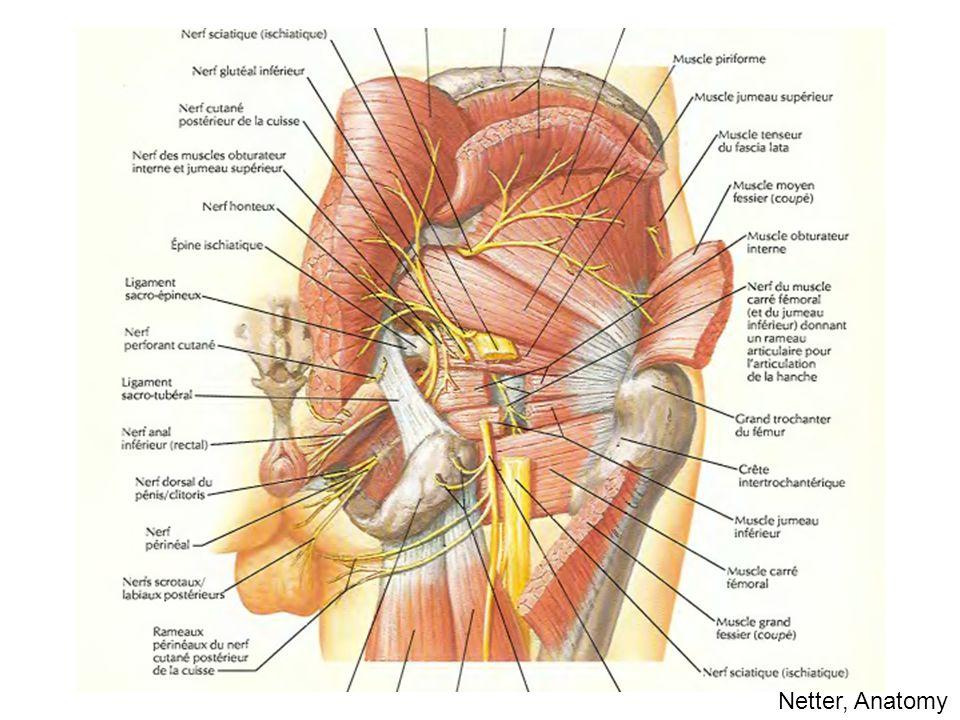 Netter, Anatomy