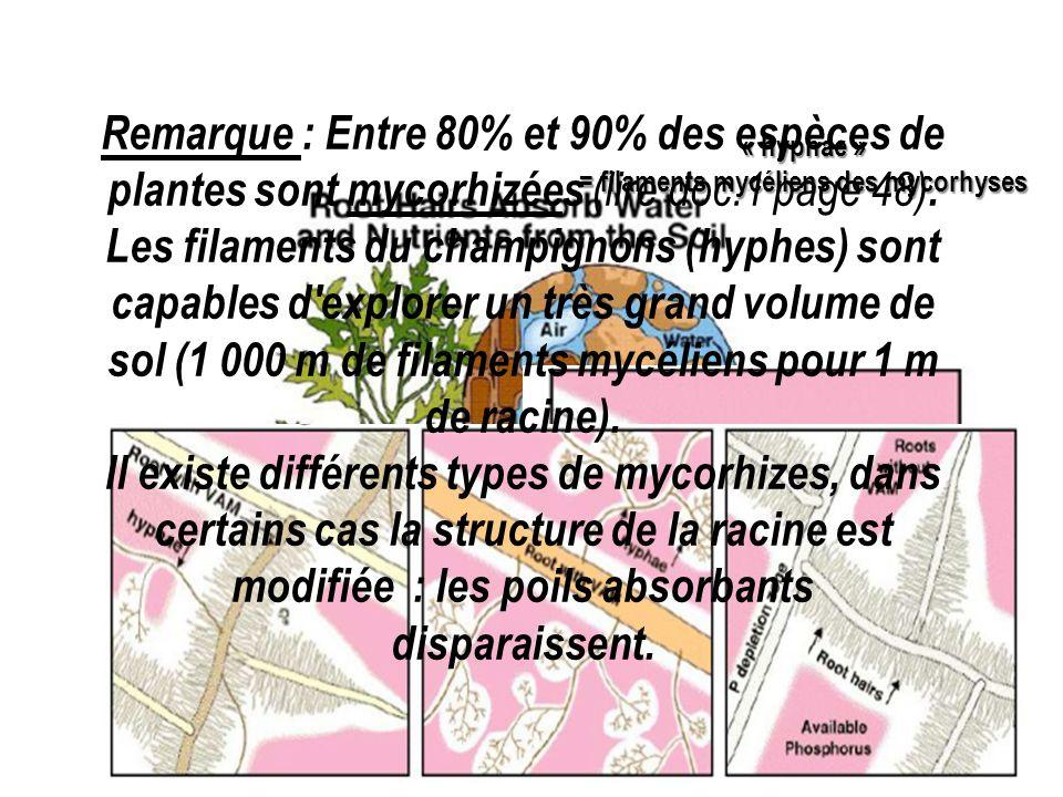 = filaments mycéliens des mycorhyses