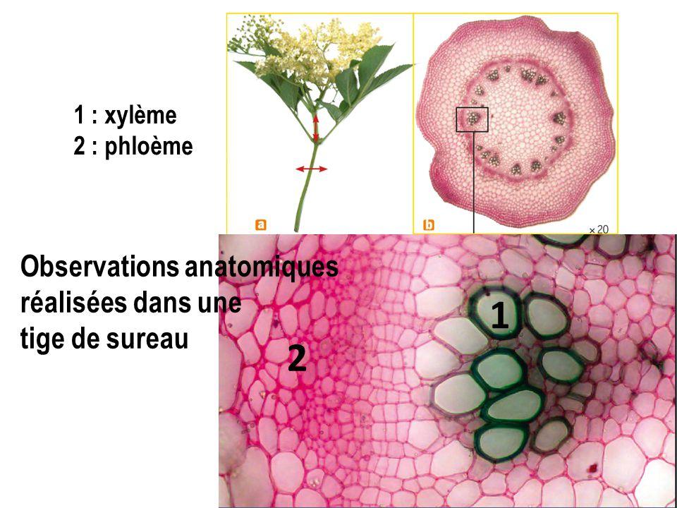 1 2 Observations anatomiques réalisées dans une tige de sureau