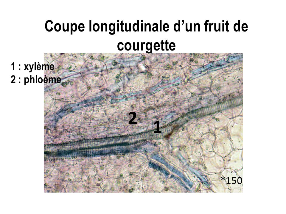 Coupe longitudinale d'un fruit de courgette