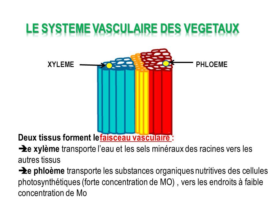 LE SYSTEME VASCULAIRE DES VEGETAUX
