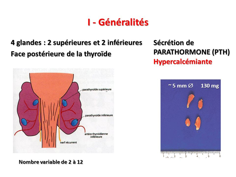 I - Généralités 4 glandes : 2 supérieures et 2 inférieures Face postérieure de la thyroïde Sécrétion de PARATHORMONE (PTH)