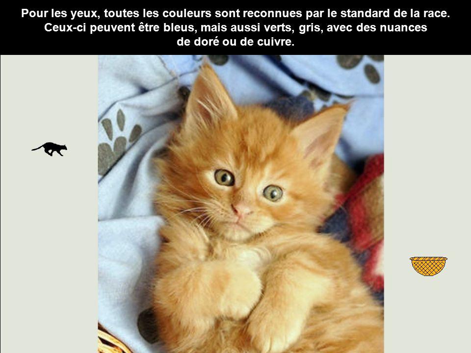 Le maine coon le chat aux allures de lynx ppt t l charger - Toutes les couleurs grises ...