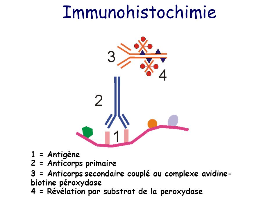 Immunohistochimie 1 = Antigène 2 = Anticorps primaire