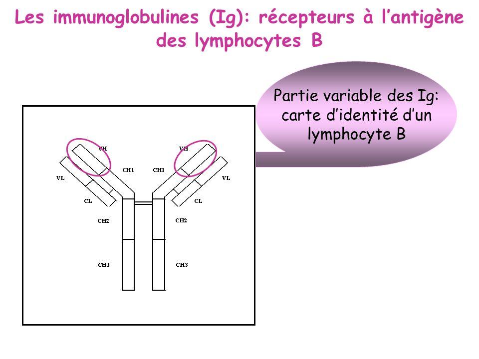 Les immunoglobulines (Ig): récepteurs à l'antigène des lymphocytes B