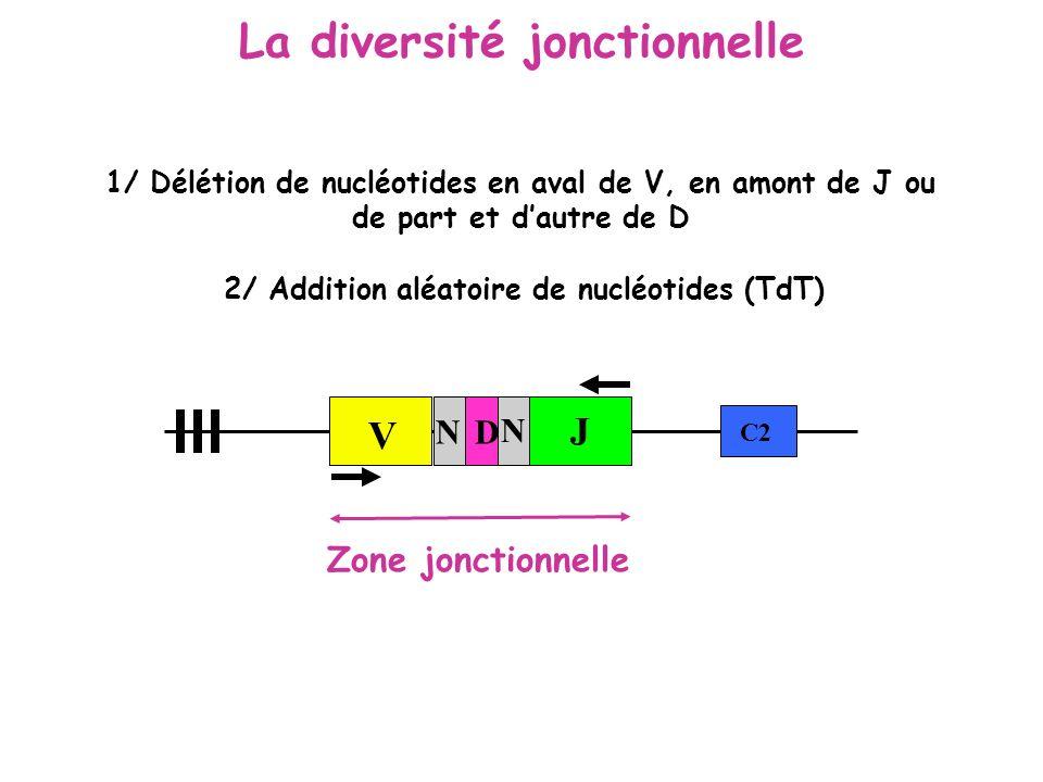 La diversité jonctionnelle 2/ Addition aléatoire de nucléotides (TdT)