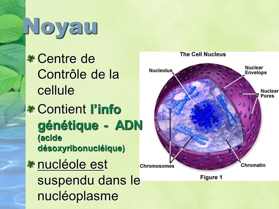 Noyau Centre de Contrôle de la cellule