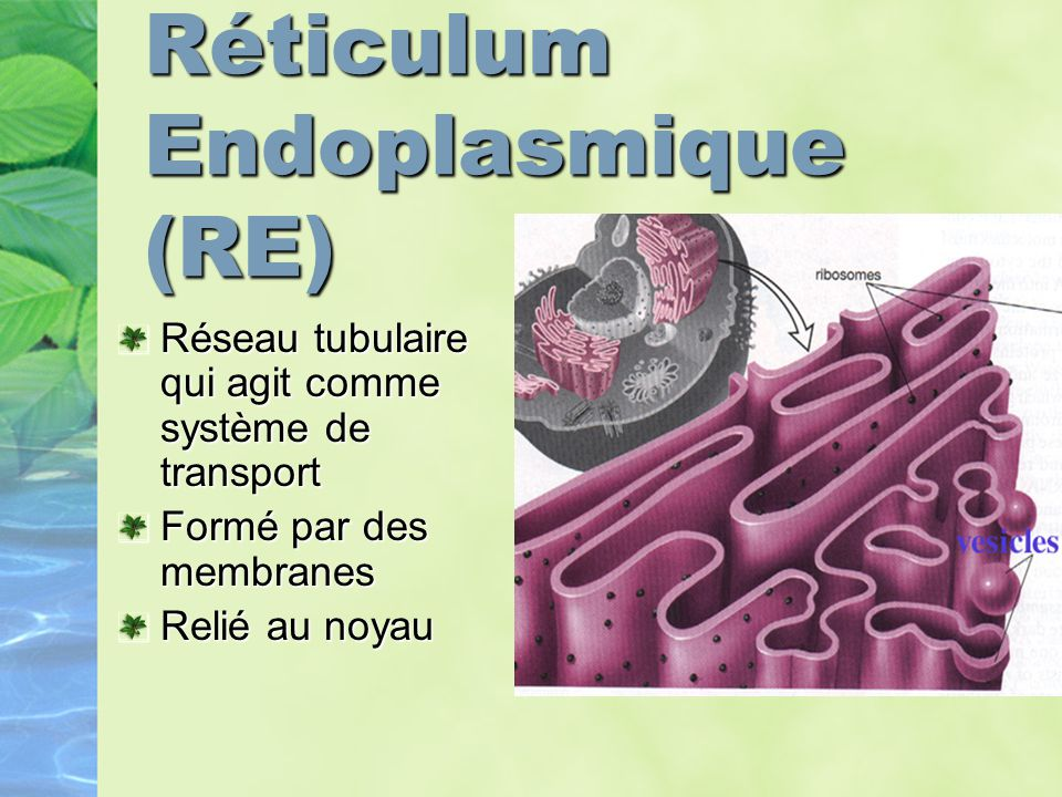Réticulum Endoplasmique (RE)