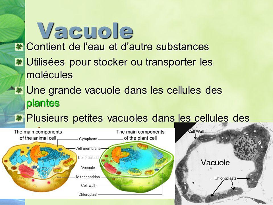 Vacuole Contient de l'eau et d'autre substances